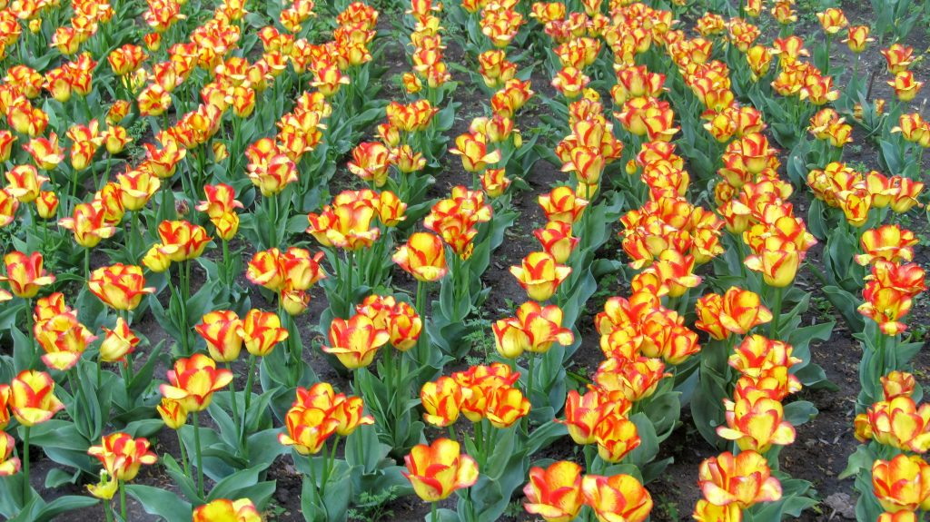 Жовтогарячі тюльпани