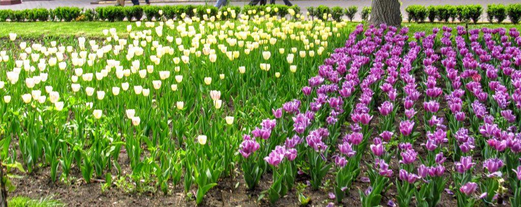 Фіолетові і білі тюльпани