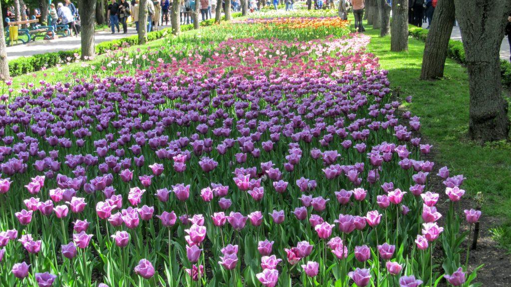 Алея з тюльпанами